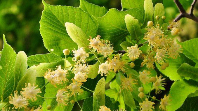 hársfavirág