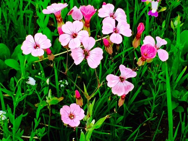 vadvirágok a fűben