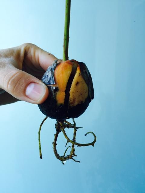 az avokádó gyökere